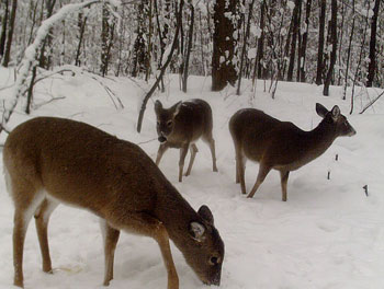 Trail cameras can help locate doe groups later in the season.
