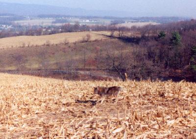Lehigh County Coyote