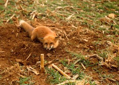 Lehigh County Red Fox